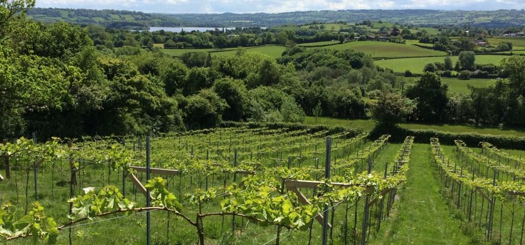 View of vineyard vines